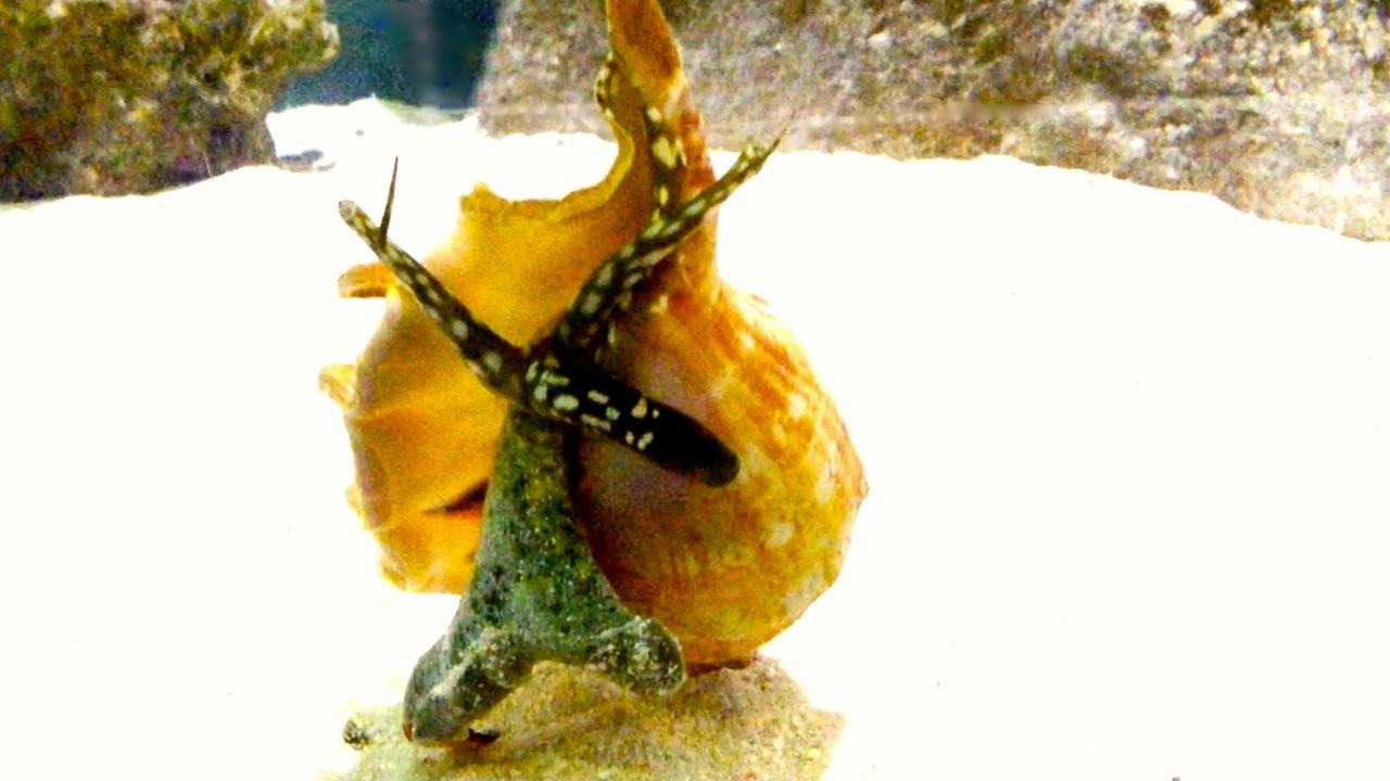На знаменитых пляжах черного моря огромное количество ракушек самой. Причем, купить в анапе можно не только ракушки непосредственно нашего. И анапчане заботливо собирают дары моря в большие и малые пакеты.