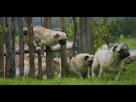 Vodafone's 2018 campaign: The pug returns