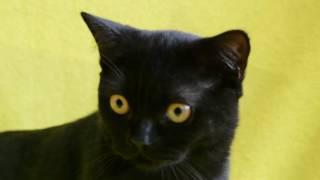 Котята шотландские прямоухие черного окраса.