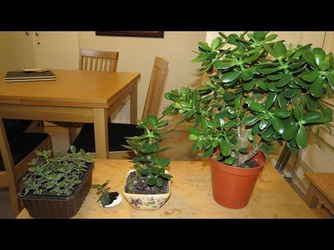how to take jade cuttings