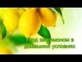Комнатный лимон , уход , чем удобрять , особенности выращивания