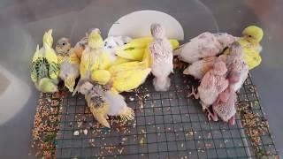 Muhabbet Kuşu Yavruları 16'sı Bir Yerde - 16 of the budgerigar are in one place