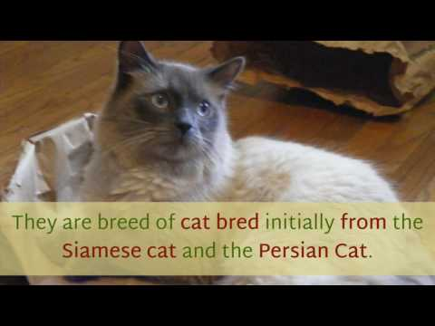 12 Interesting Facts You Should Know About Himalayan Cat