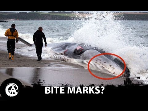 What Attacked the St Austell Fin Whale?