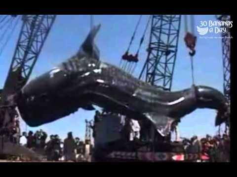 Worlds Biggest Giant Catfish killed or was it actually a Whale Shark?