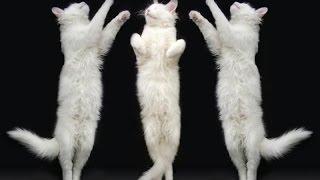 приколы с кошками, смешные и весёлые ролики.