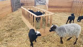 Romanovske ovce tel:0953894489