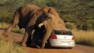 Да же добрый слон иногда бывает злым!