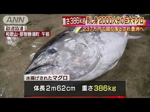 刺身2000人分!386キロの巨大マグロ・・・その値段は(19/03/25) (Việt Sub)