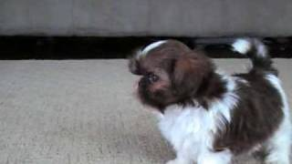 Tiny Imperial Shih Tzu Puppy, 6.5 Weeks.