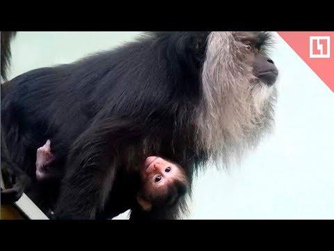 Вопрос: Как называется детеныш шимпанзе, гиббона, павиана, гориллы, макаки?