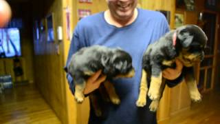Rottweiler Puppies Red Girl White Girl