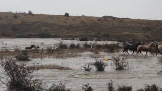 Horses and Ponies escape flooded river