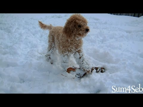 Miniature Poodle playing fetch in the snow  ¦  Sum4Seb Video
