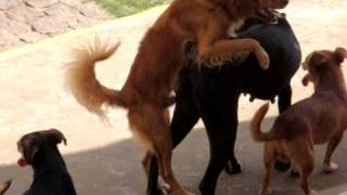 Dogs fucking (gang bang dos au au) - parte 1