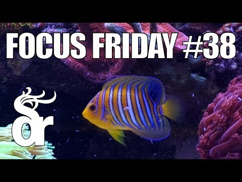 FF#38 | Keeping A Regal Angelfish In Your Reef Tank