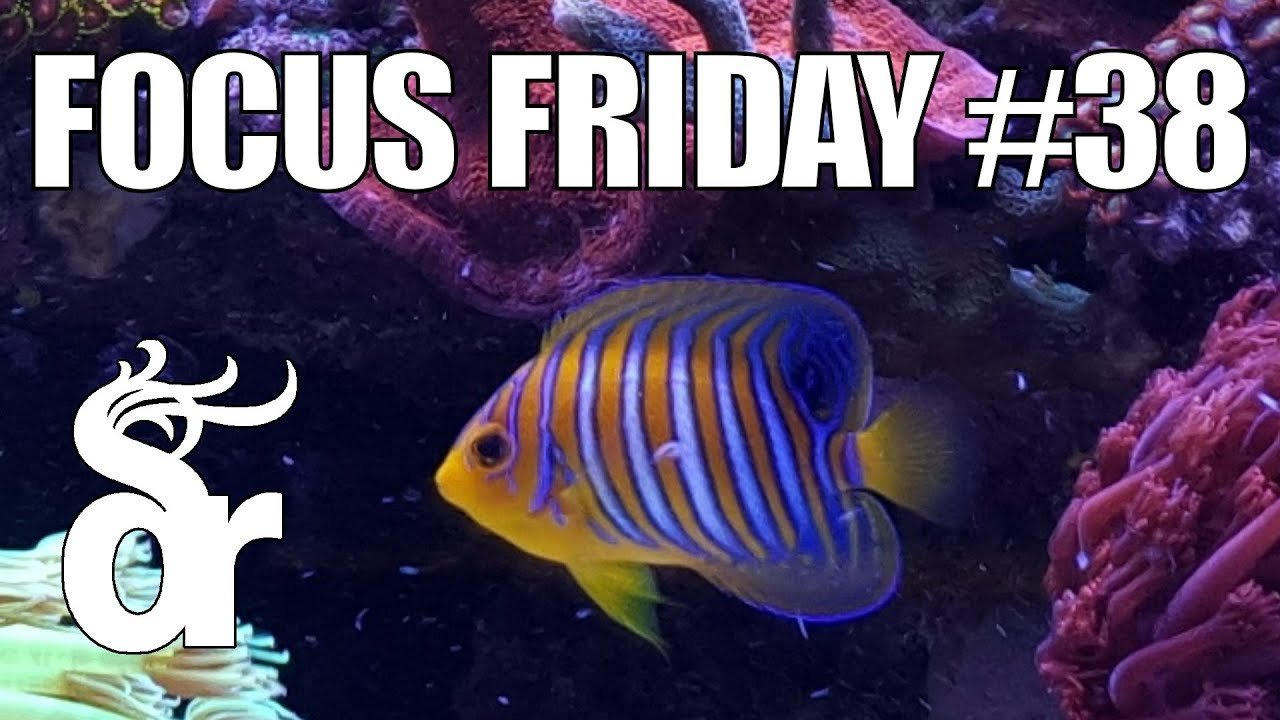 ff 38 keeping a regal angelfish in your reef tank youtube