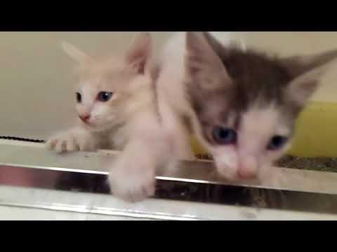 Cinder Babies1 -  05/20/18 - Japanese Bobtail Kittens