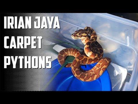 Episode 80 - Irian Jaya Capet Python Babies!