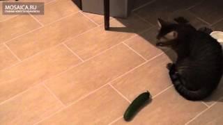 Ульяновские кошки не боятся огурцов