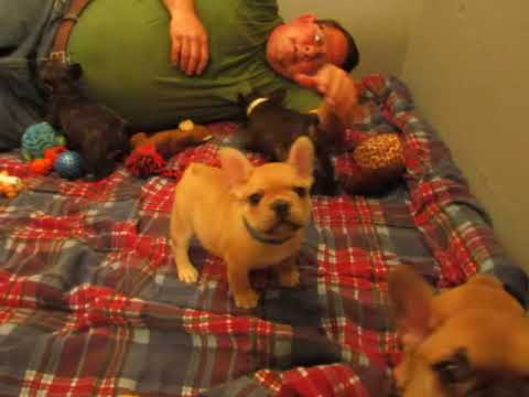 Josie and Condy Pups - French Bulldog Puppies ~ Oregon French Bulldog Breeders