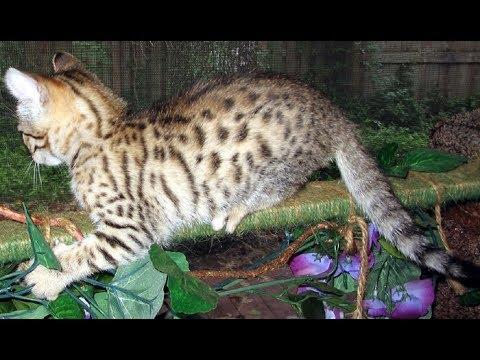 Long Tailed Bobcat Housecat Mix Regular Cat What Do You Think