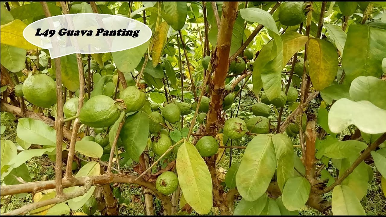 How to Plantation L49 Guava Tree in india  (Help Line No ☎️ 8514981670)