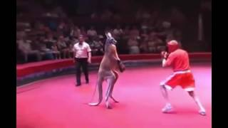 Pertarungan Paling Lucu Di Dunia, Manusia Melawan Kangguru