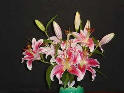time lapse blooming of stargazer lilies, Beautiful flower