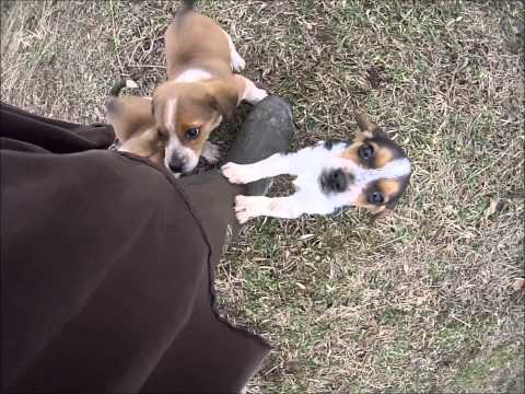 Beagle puppies playing December 2014