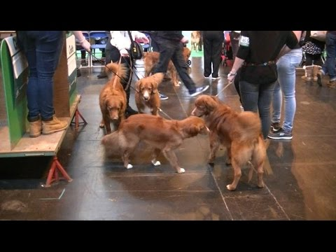 Nova Scotia Duck Tolling Retriever in Crufts 2017