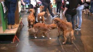 Cruftsの会場で 「この犬は、ノバスコシアですか ノバスコティアですか...
