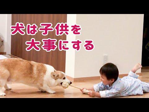 【犬とこども】子供の成長に合わせて遊ぶコーギー