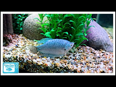 Gourami Care - The Good | The Bad And The Beautiful!