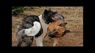 ドイツのシェパードは、しばしば働く犬として使用され、勇敢で、鋭く、...