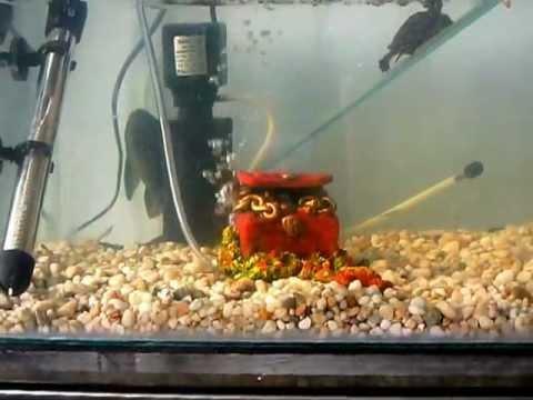 cuidado de la tortuga de orejas rojas (Trachemys scripta elegans)