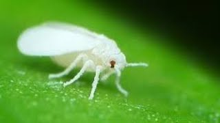 Whitefly Attack on Cotton Crops and Pest Control