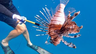 Massive LIONFISH, Lobster and Triggerfish {Catch Clean Cook} Free-Dive Spearfishing