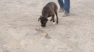 Training Dogs To Avoid Rattlesnakes