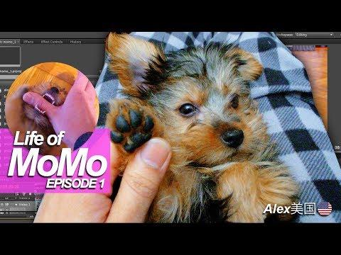 Princess Momo the Silky Terrier Puppy EP1迎来了家庭新成员!?我的名字是小桃子MOMO 桃ちゃんが来た!家のニューメンバーを迎えます もも Baby Shark