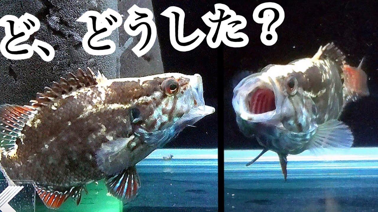 かっこいい日本淡水魚の捕食を観察していたら…