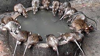 Indien - Rajasthan - Die Heiligen Ratten im Karni Mata Tempel - Deshnoke