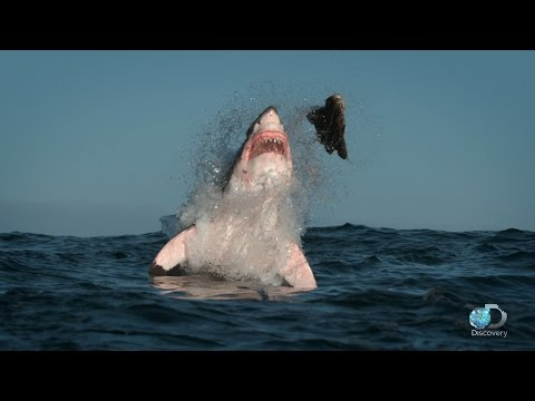 Breaching Great White Sharks | Shweekend