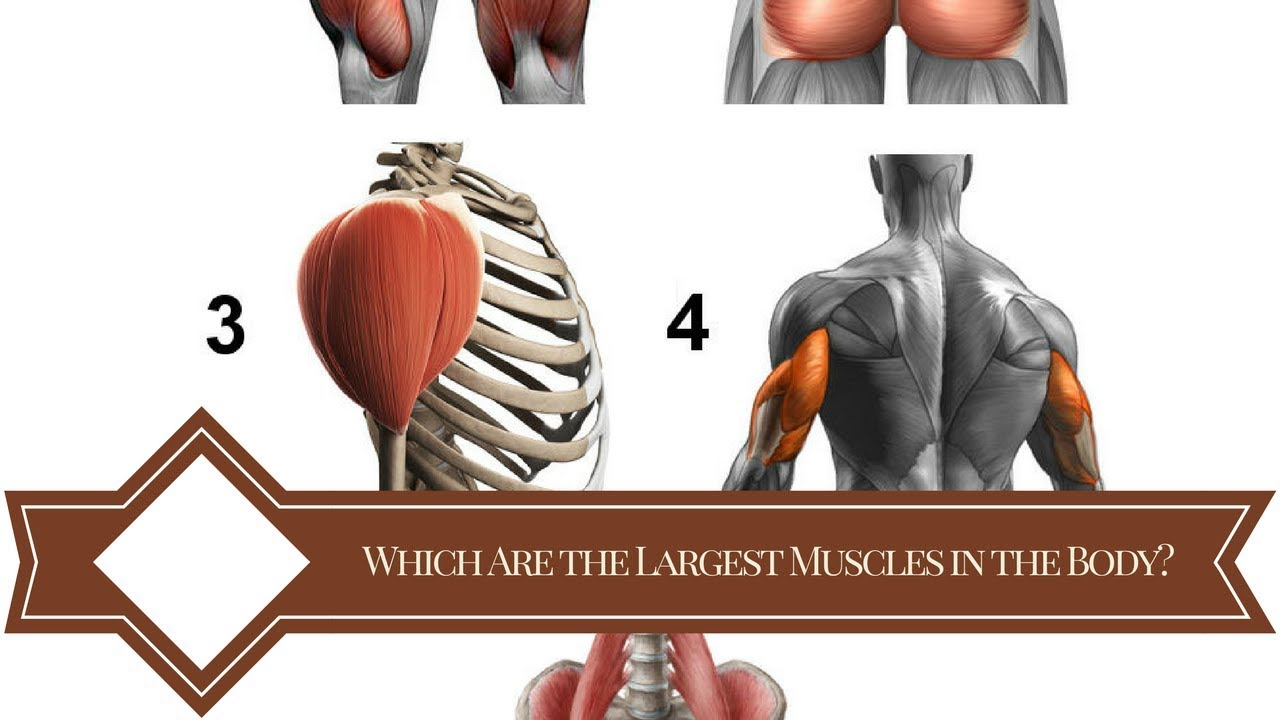 Which Are The Largest Muscles In The Body Youtube