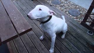 Funny Talking English Bull Terrier