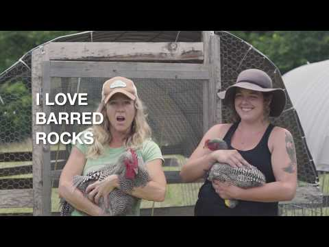 For the Love of Barred Plymouth Rocks