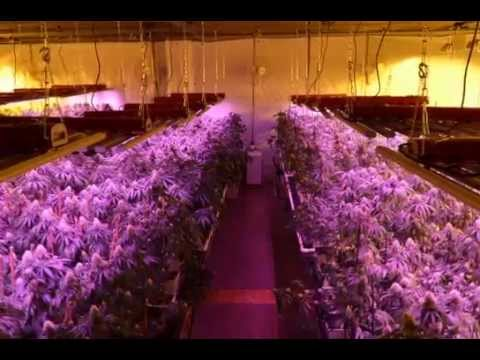 Led Vs 1000w Double Ended Hps Medical Cannabis Grow Test