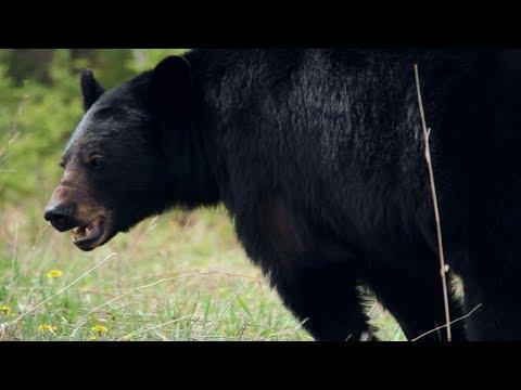 Un ours noir qui mange des pissenlits en Parc national du Mont-Riding