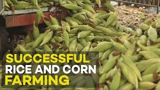 Successful Rice and Corn farming in the Philippines | Agribusiness