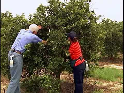 CHRP Video   Citrus Greening